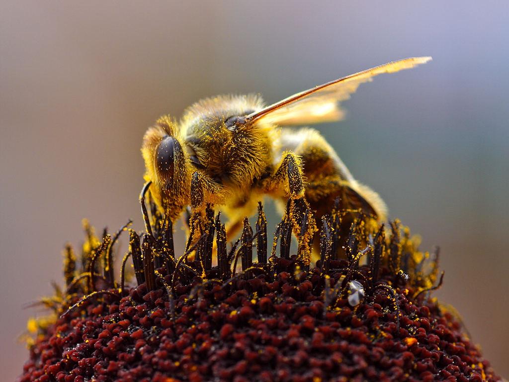 Bees_Collecting_Pollen Pub Do by Jon Sullivan