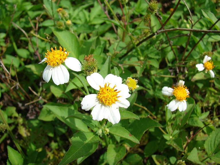 Shepherd's needles,Bidens alba var. radiata (flowers and leaves). Location- Midway Atoll, Old Fuel Farm Sand Island CC Author Forest and Kim Starr final