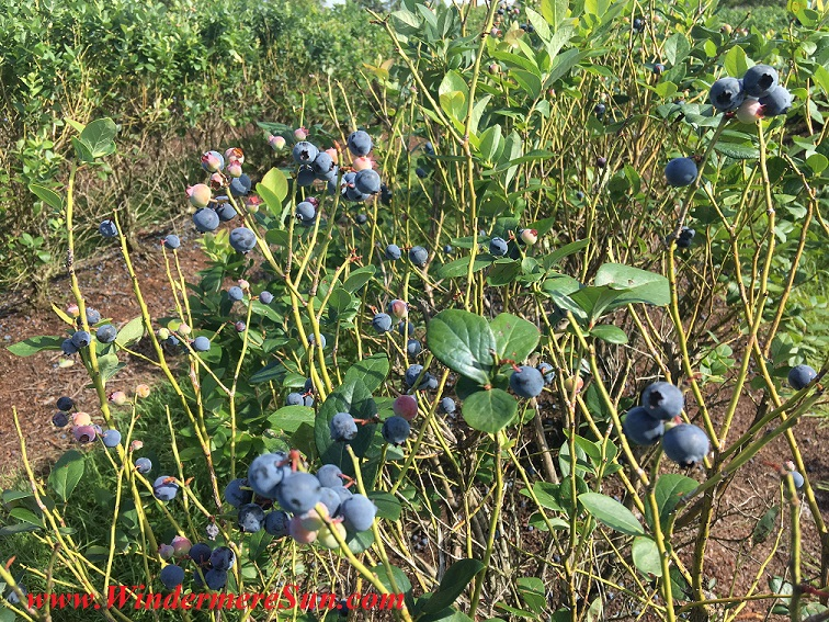 UPickBlueberries-blueberries 13 final