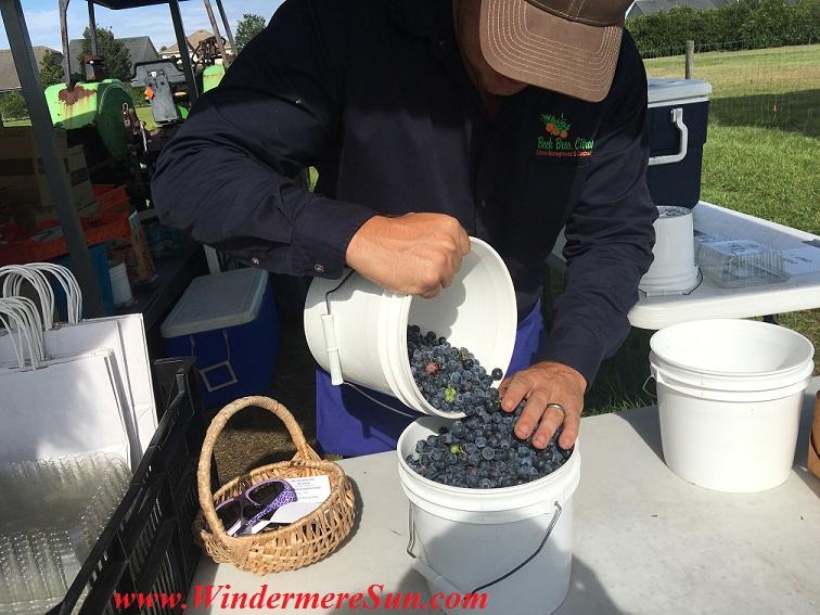 UPickBlueberries-blueberries 2 fill the bucket final