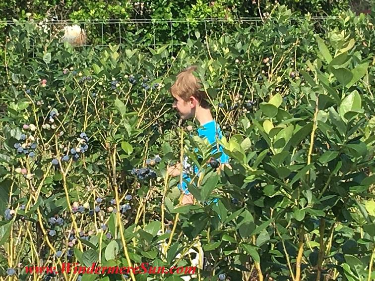 UPickBlueberries-blueberries 3 boy in blue shirt final