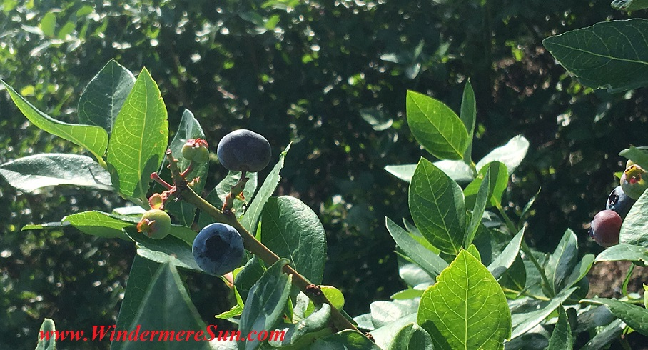 UPickBlueberries-blueberries closeup 11 fina1