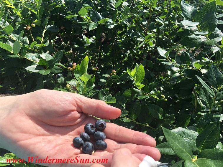 UPickBlueberries-blueberries closeup 12 final
