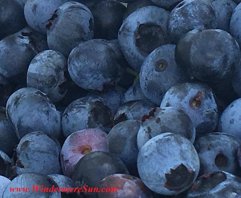 UPickBlueberries-delicious blueberries 6 final