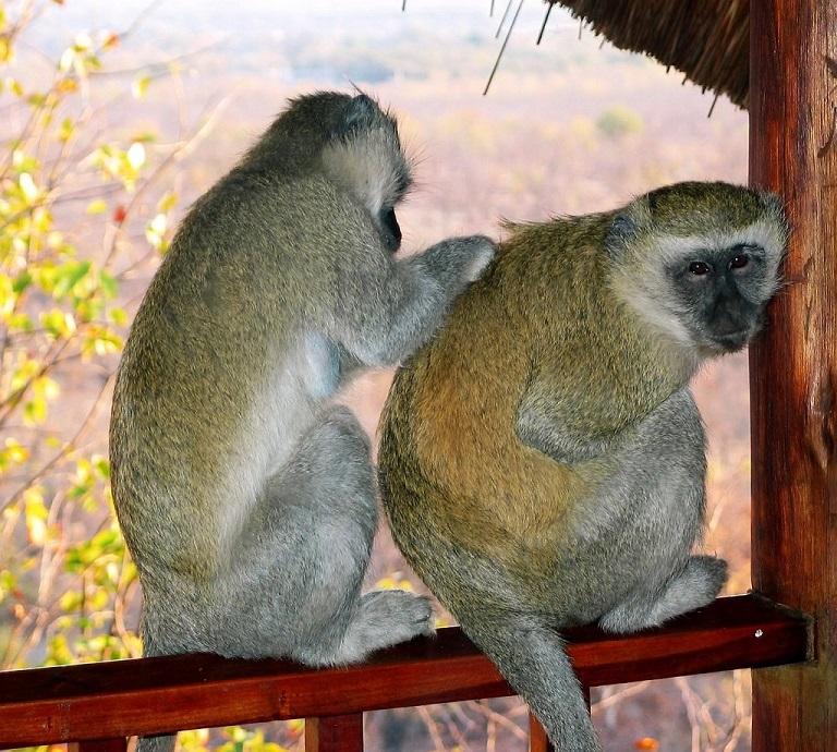 massage,monkey-massage final-1496208-1278x1149, photographer-tim and annette (mexikids)