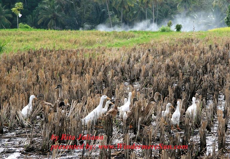 duckling-in-paddy-field-1374748-freeimages-by-rita-juliana-final