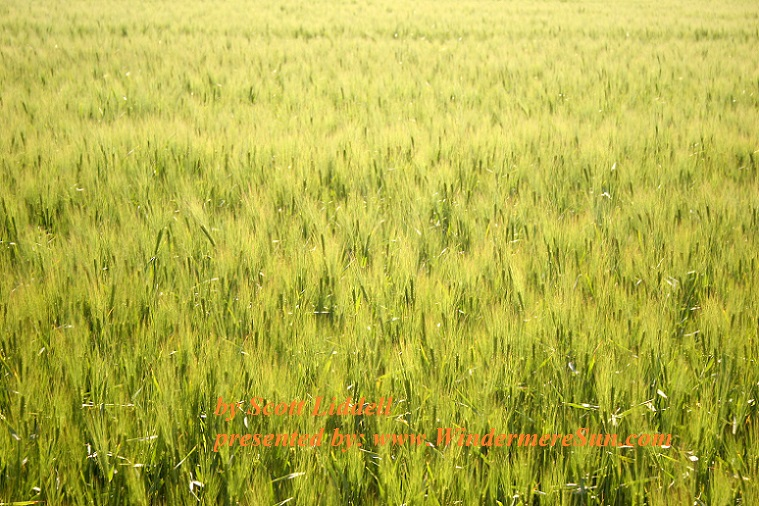 field-of-young-wheat-1354071-freeimages-by-scott-liddell-final