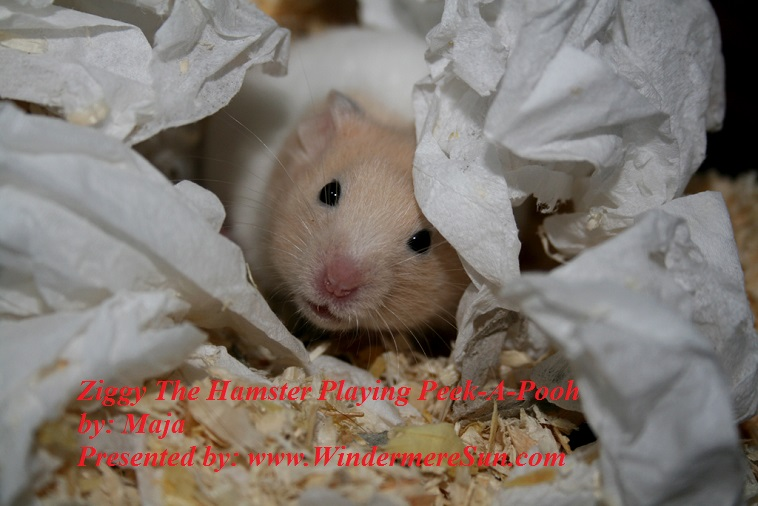 ziggy-the-hamster-135948, freeimages, by Maja final