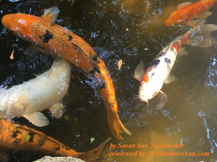Koi can be pets, 1-14-2017, by Susan Sun Nunamaker final