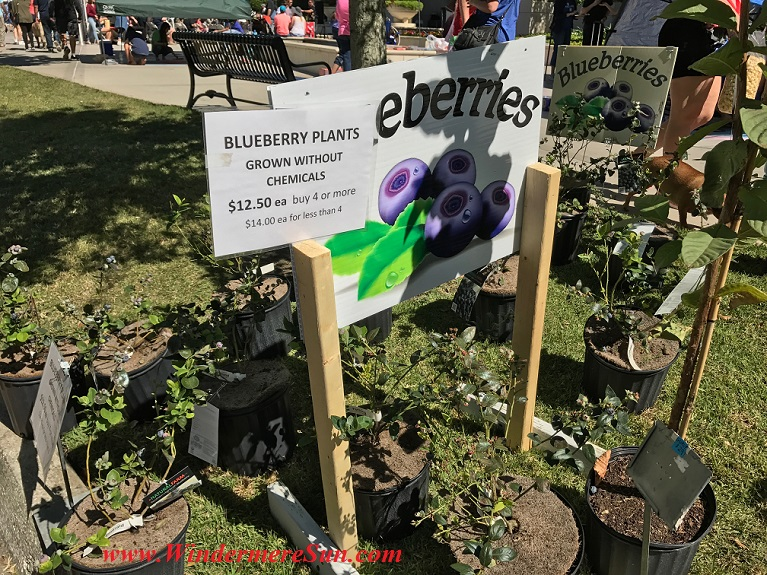 blueberry plants final