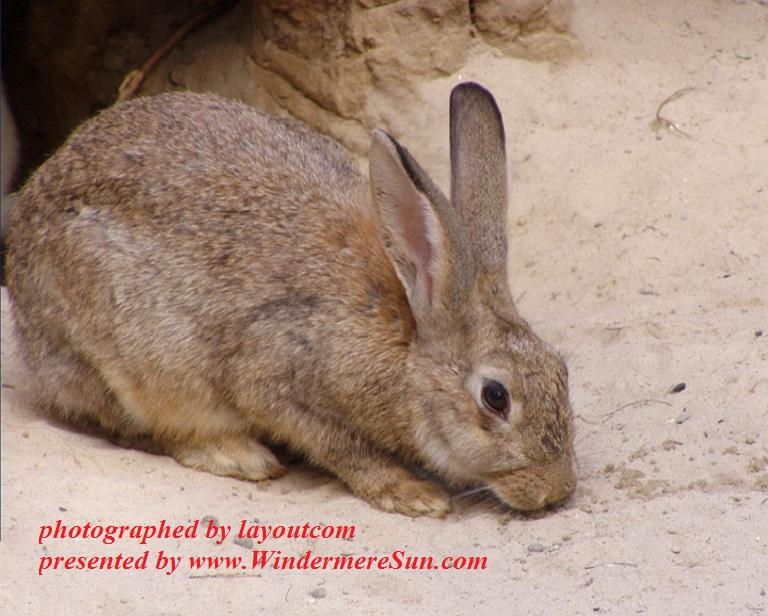 rabbit-1402890, freeimages, by layoutcom, 4-15-2017 final