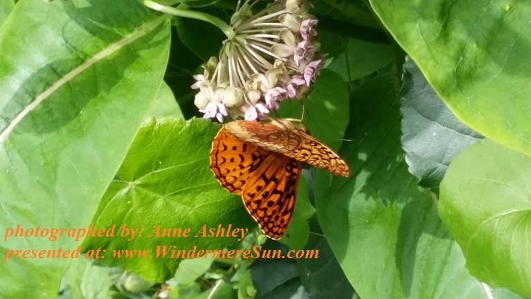 butterfly-on-blossom-1629911, by Anne Ashley final