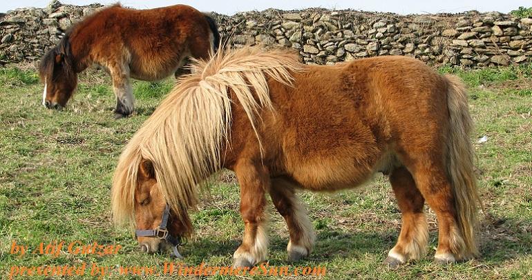 pony-1394485, freeimages, by Atif Gulzar final