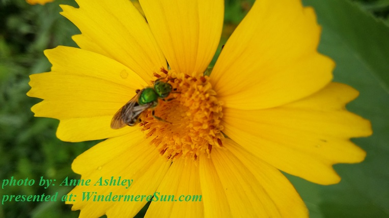 yellow-bloom-with-green-bee-1629914, by Anne Ashley final