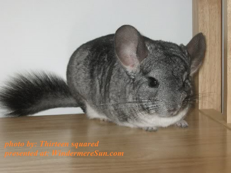 Chinchilla-Standardchinchilla, by Thirteen squared, PD final
