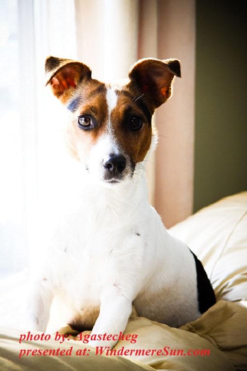 fox-terrier-dog-1340845, by Agastecheg final