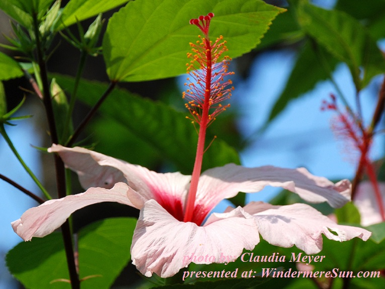 hibiscus-1364277, freeimages, by Claudia Meyer final