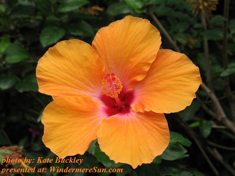 orange-hibiscus-1370724, freeimages, by Kate Buckley final