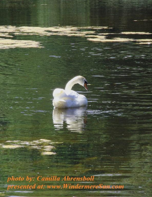 white-swan-1634847, by Camilla Ahrensboll final