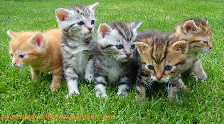 kittens-cat-cat-puppy-rush-45170, from pexels, pet of 7-8-2017 final