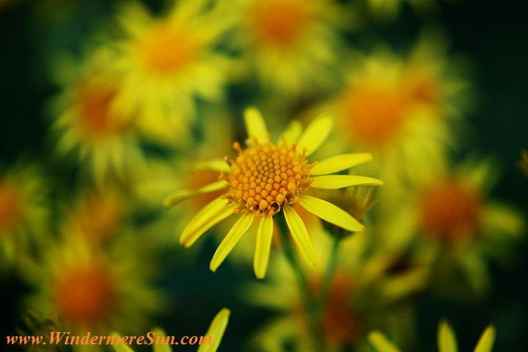 daisy-pexels-photo-116876 final
