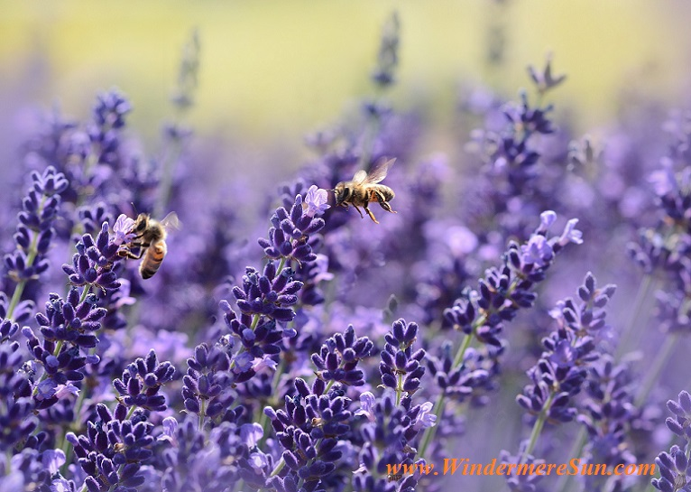 lavender with bees-pexels-photo-164470 final