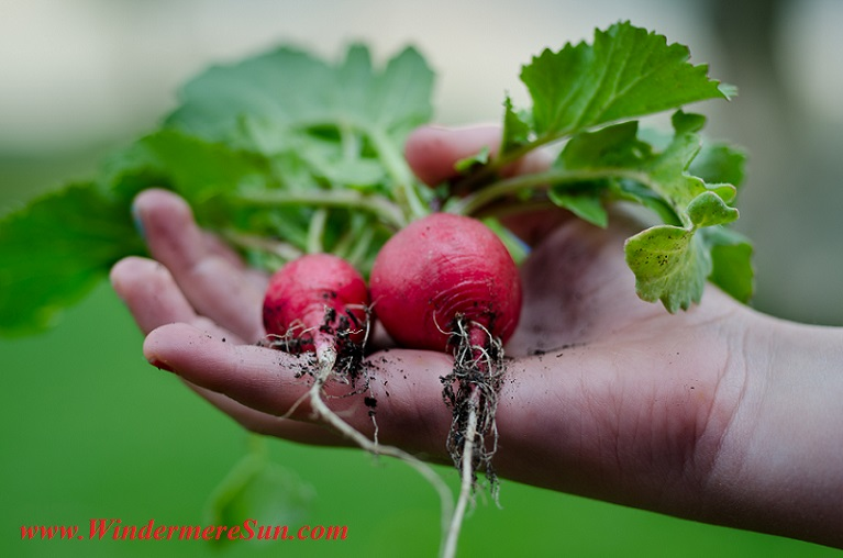 radishes-healthy-vegetables-restaurant-nature final