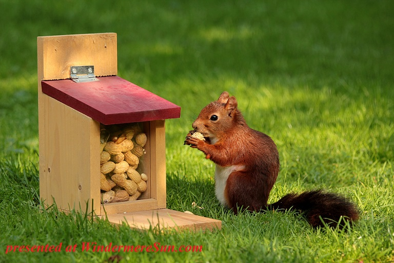 squirrel with peanuts-animal-squirrel-sciurus-bird final