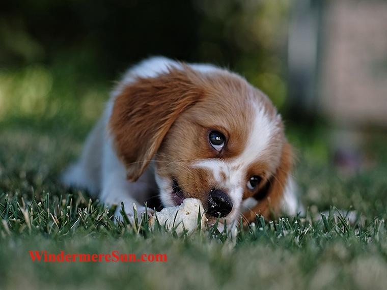 Pets-Nov.11, 2017-cute puppy-pexels-photo-672244 final