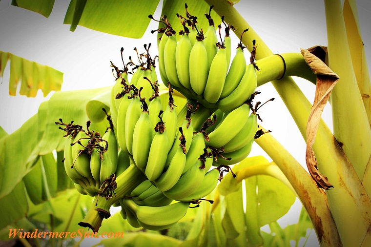 Bunch  ripening bananas  tree