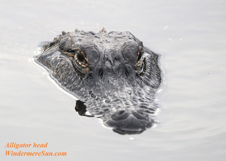 alligator head, pexels-photo-151354 final