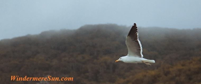 seagull in flight, pexels-photo-799494 final
