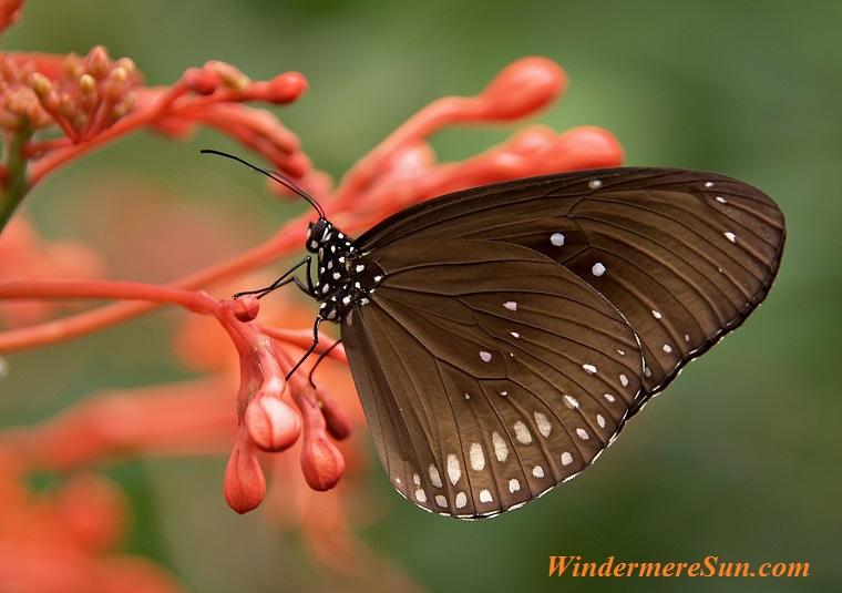 striped-core-butterflies-butterfly-brown-53957 final