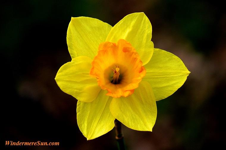 daffodil, pexels-photo-360972 final. jpg