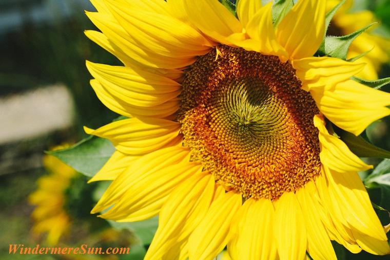 one big sunflower, pexels-photo-154137 final