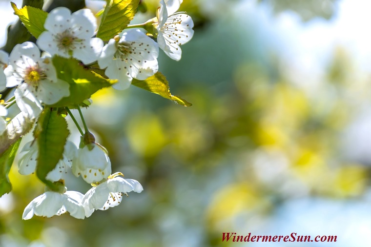 white flowers, pexels-photo-96627 final