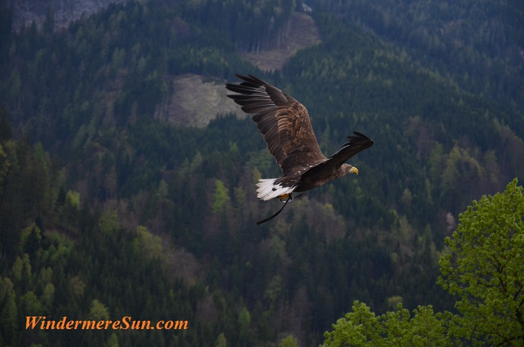 eagle flying , adler-bird-bird-of-prey-raptor-53587 final