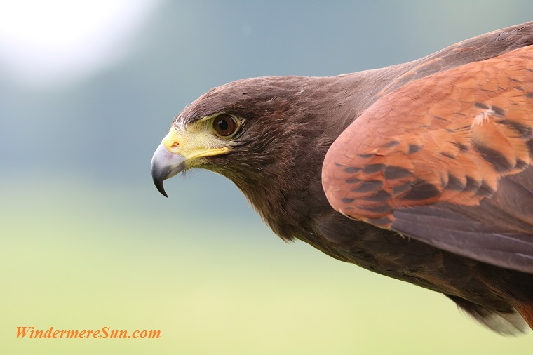 harris-hawk-hawk-harris-bird-162354 final