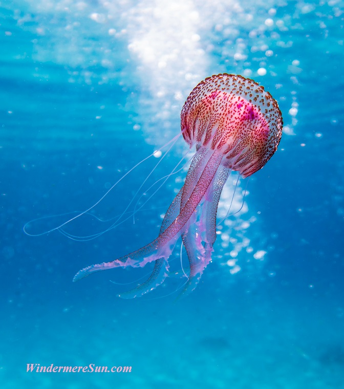 jellyfish-2, animal-aquatic-biology-1076758 final