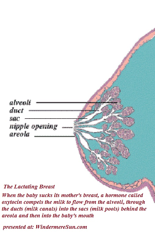 Breastfeeding-The Lactating Breast final