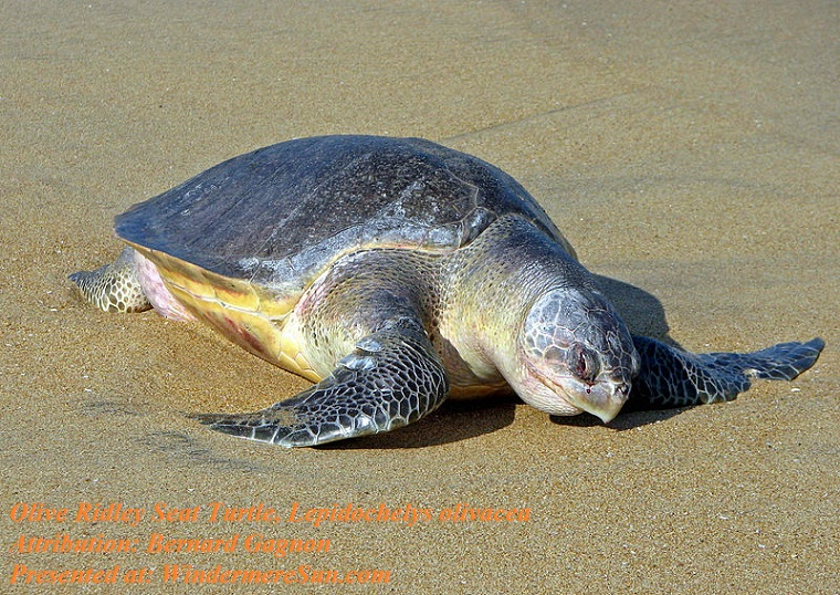 Olive Ridley Sea Turtle, Lepidochelys_olivacea, attribution-Bernard Gagnon final