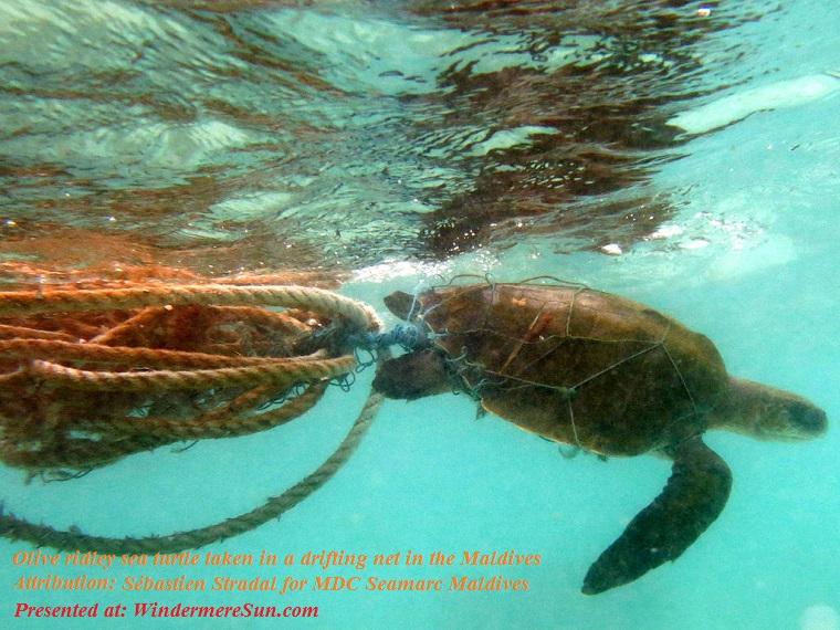Olive Ridley sea turtle taken in a drifting net in the Maldives, attribution-Sébastien Stradal for MDC Seamarc Maldives, Lepidochelys_olivacea_Landaa final