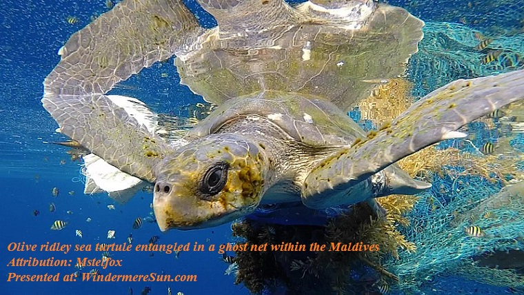 Olive ridley sea turtle entangled in a ghost net within the Maldives, attribution-Mstelfox final