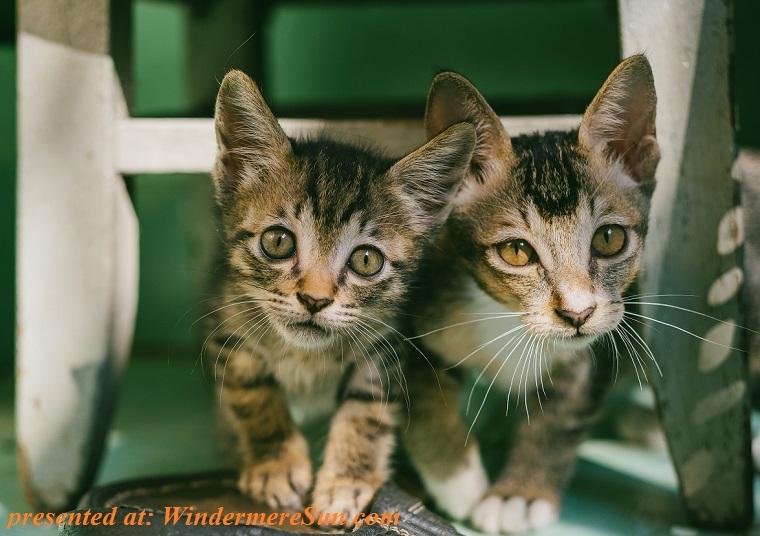 pet of 12-1-2018, cute kitties, waiting for treats, adorable-animals-cat-face-688885 fina