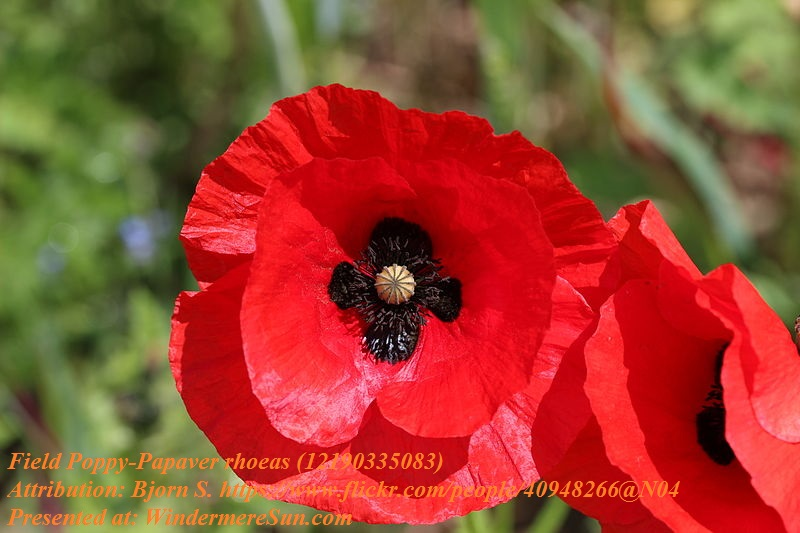 poppy, field poppy,Papaver_rhoeas, Attribution-Bjorn S final