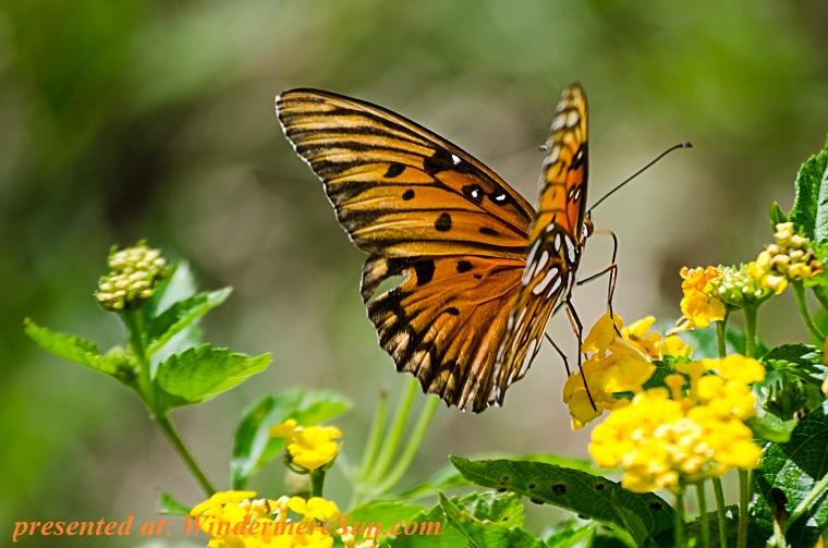 butterfly on flowers, animal-butterfly-flowers-9632 final
