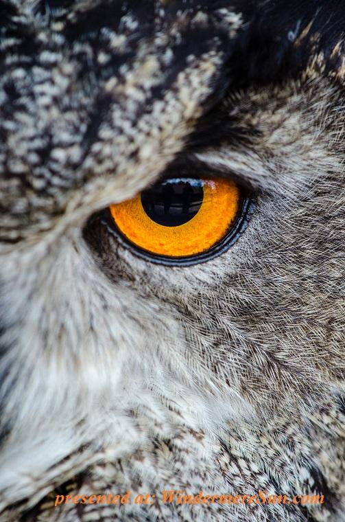 owl, animal-bird-close-up-148275 final