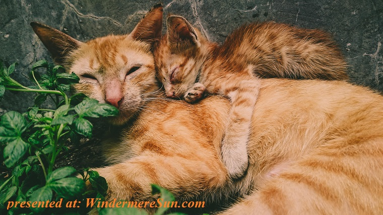 pet of 1-26-2019, cuddly cats, mom and cub, adorable-animal-photography-animals-1096091 final