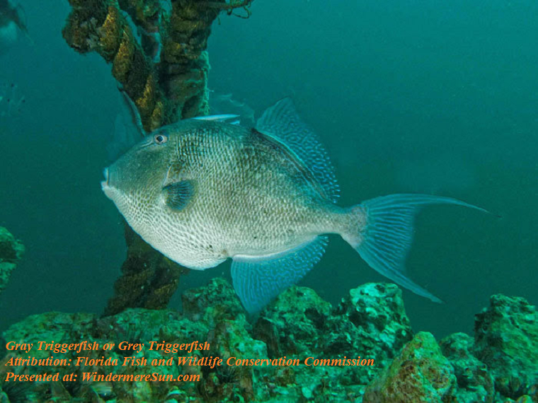 Gray triggerfish or grey triggerfish final