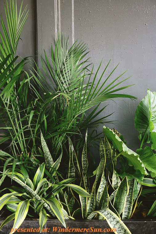 beautiful-color-dark-green-plants, palm, snake plant, taro final